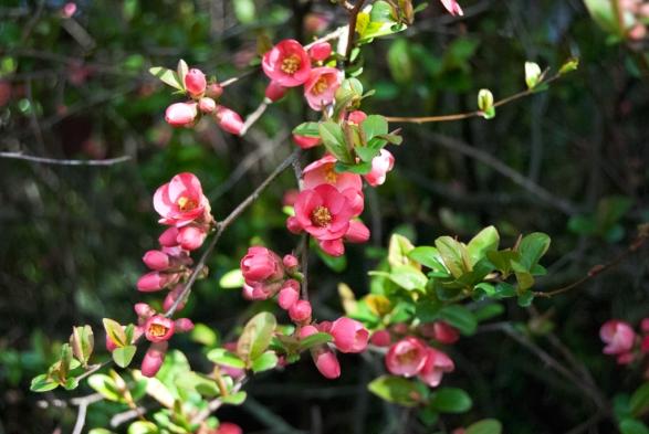 FloweringQuince2014